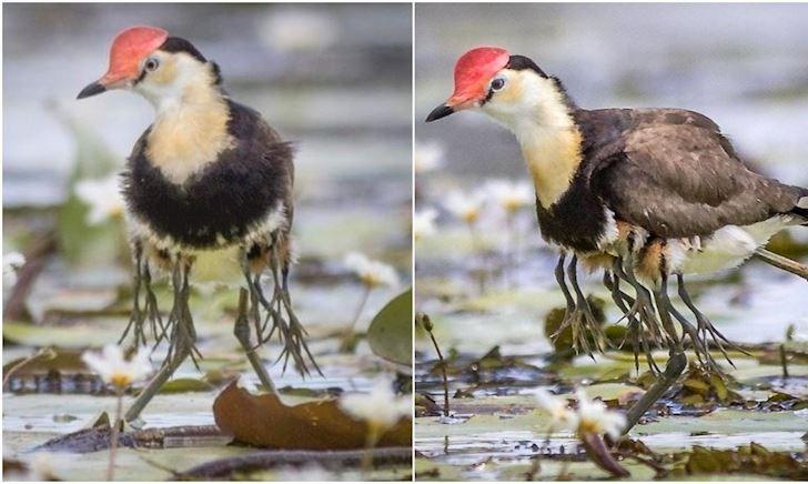 Hình ảnh chim có 10 chân gây tò mò trên mạng: Thể hiện tình cha đáng nể trong tự nhiên